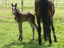 Top bred showjumping filly