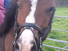 Lovely pony club/hunting pony for sale
