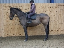 All Rounder horse - 11 yrs 16.1 hh Bay - County Durham