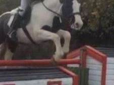 All Rounder horse - 5 yrs 15. 0 hh - Laois