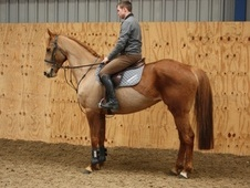 All Rounder horse - 9 yrs 16.1 hh Chestnut - County Durham