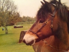 Mountain & Moorland horse - 18 yrs 13.0 hh Bay - Northamptonshire
