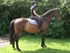 All Rounder horse - 10 yrs 16.2 hh Bay - County Durham