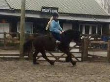 Rising 4 Fell gelding for sale
