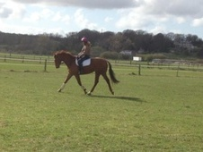 All Rounder horse - 7 yrs 16.1 hh Chestnut - North Yorkshire