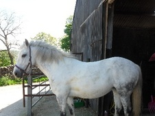 All Rounder horse - 11 yrs 11 mths 14.3 hh Dapple Grey - North Yo...