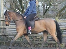 Quality lead rein/first ridden pony PBW