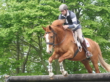 16.2hh Warmblood Gelding
