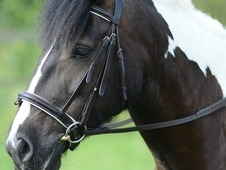 Perfect All Rounder - 14hh 6yo