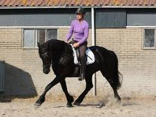 Friesian Gelding 16. 2hh. 5 year old