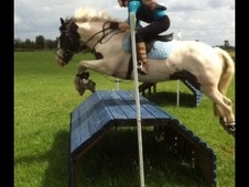 All Rounder horse - 8 yrs 4 mths 14.2 hh Piebald - Cambridgeshire