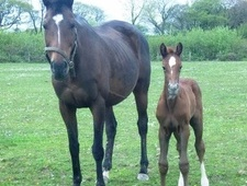 Broodmares horse - 13 yrs 2 mths 16.1 hh Bay - Dyfed