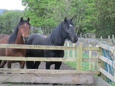 Mountain & Moorland horse - 2 yrs 14.2 hh Black - North Yorkshire
