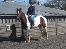 All Rounder horse - 8 yrs 2 mths 15.2 hh Coloured - Staffordshire