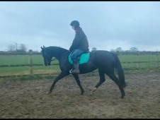 15. 2, 9 year old pretty black mare