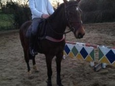 All Rounder horse - 9 yrs 15.0 hh Bay - Avon