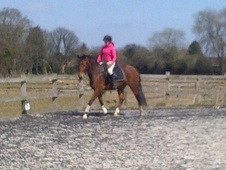 All Rounder horse - 7 yrs 11 mths 15.1 hh Bay - Kent