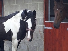 All Rounder horse - 5 yrs 1 mth 16.1 hh Coloured - County Durham