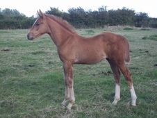 Stunning Kwpn Mare With Filly Foal At Foot
