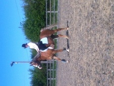 Showing horse - 8 yrs 1 mth 14.2 hh Chestnut - Dorset