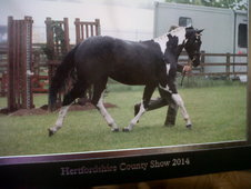 County Level Filly Piebald