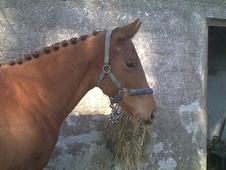 Show Jumpers horse - 2 yrs 9 mths 15.0 hh Chestnut - Cornwall
