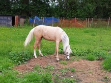 Mountain & Moorland horse - 2 yrs 7 mths 12.2 hh Palomino - Suffolk
