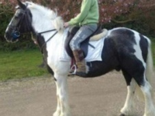All Rounder horse - 15 yrs 6 mths 14.2 hh Skewbald - Suffolk