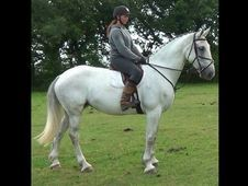 All Rounder Horse - 8 Yrs 16. 3 Hh - Hampshire
