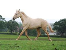 Palomino Warmblood Two Year Old Filly