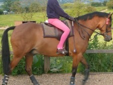 12. 2h Beautiful Bay Gelding