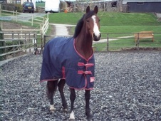 Part Bred horse - 6 yrs 15.0 hh Bay - Worcestershire