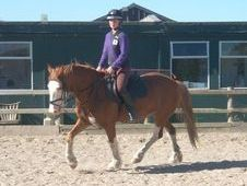 All Rounder horse - 7 yrs 15.1 hh Chestnut - Powys