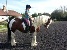 Hermits Gypsy Cob Mare For Sale 14. 2