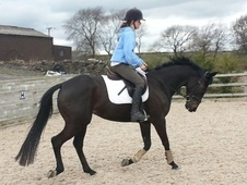 All Rounder horse - 6 yrs 11 mths 15.3 hh Dark Brown - Derbyshire