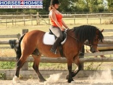 Tomi, ! 5h, Welsh Section D, 22 years, Gelding -Essex