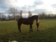 All Rounder horse - 8 yrs 11 mths 15.2 hh Bay - Cheshire