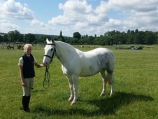Superb All Rounder/hunting Cob