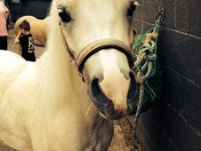 12hh Palomino Gelding For Sale Or Full Loan