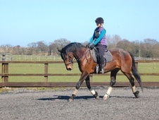 Dressage horse - 14 yrs 16.0 hh Bay - Suffolk