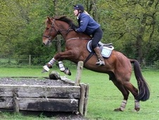 16HH 11yrs Irish Draught for loan - Warwickshire