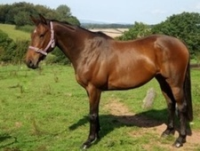 All Rounder horse - 10 yrs 11 mths 15.1 hh Bay - Somerset