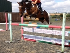 Tommy 148cm 11yo Coloured Gelding! Super Pony!!!
