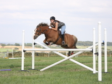 Handsome 13. 2 Chestnut Gelding