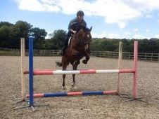 16hh 7yrs Bay Ish Gelding By Coevers Diamond Boy