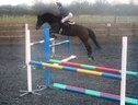 Show Jumpers horse - 9 yrs 16.0 hh Bay - Kent