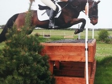 All Rounder horse - 8 yrs 14.2 hh Bay - Northamptonshire