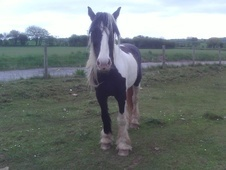 Family horse - 12 yrs 2 mths 60.0 hh Coloured - Mid Glamorgan