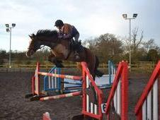 Lovely Welsh Section D Gelding