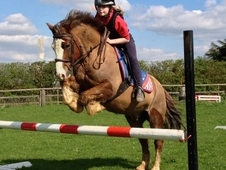 13. 1 Chestnut Welsh Sec C Gelding 10yrs